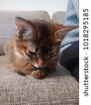 photo of somali cat lying and... | Shutterstock . vector #1018295185