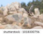 Small photo of A northern harrier flys off with its catch; a very unfortunate alligator lizard.