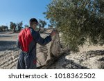 workers collecting olive oil in ... | Shutterstock . vector #1018362502