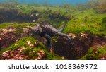 Small photo of The marine iguana (Amblyrhynchus cristatus)