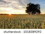 panorama of wheat field at... | Shutterstock . vector #1018389292