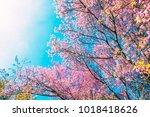 beautiful in blooming cherry...   Shutterstock . vector #1018418626