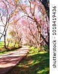 cherry blossom trees seasonal...   Shutterstock . vector #1018419436