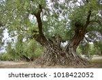 Old Olive Tree Close To Priedo...