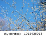 witch hazel tree blooms in the ... | Shutterstock . vector #1018435015