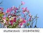 mountain ebony   orchid tree  ... | Shutterstock . vector #1018456582