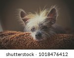 portrait of a chinese hairless... | Shutterstock . vector #1018476412