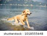 golden retriever dog bathes in... | Shutterstock . vector #1018555648