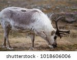 reindeers walking in the... | Shutterstock . vector #1018606006