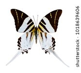 Small photo of White butterfly tropical Graphium androcles, Indonesia, isolated on white background