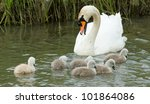 Cygnets Are Swimming In The...
