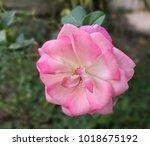 Stock photo close up blossom light pink rose 1018675192