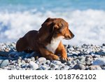happy dog walking on the beach | Shutterstock . vector #1018762102