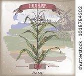 corn aka maize or zea mays... | Shutterstock .eps vector #1018784302