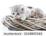 Little Fluffy Grey Funny Kitte...
