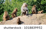 group of baboons  | Shutterstock . vector #1018839952