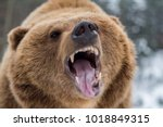 Closeup brown bear roaring in...