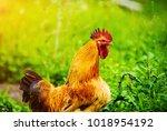 red rooster. cock  rustic rural ... | Shutterstock . vector #1018954192