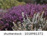 White And Purple Heather Bushe...