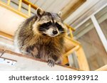 house curious raccoon on the... | Shutterstock . vector #1018993912