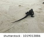 back view of an iguana crawling ... | Shutterstock . vector #1019013886