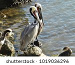 Two Brown Pelicans On The Side...
