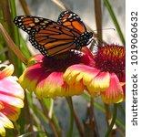beautiful monarch butterfly on... | Shutterstock . vector #1019060632