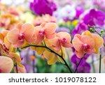 phalaenopsis orchids flowers... | Shutterstock . vector #1019078122
