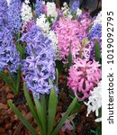 hyacinth. beautiful colorful...   Shutterstock . vector #1019092795