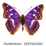 purple emperor butterfly ... | Shutterstock . vector #1019161426