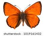 male large copper butterfly ... | Shutterstock . vector #1019161432