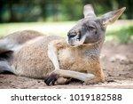 Red Kangaroo Lying In The Shade ...