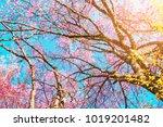 sunrise cherry blossom tree...   Shutterstock . vector #1019201482