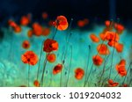blooming red poppies in a field ... | Shutterstock . vector #1019204032