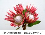 Protea Flower Pink Ice On Whit...