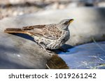 the rufous tailed weaver is a... | Shutterstock . vector #1019261242
