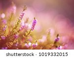 Lavender. Vibrant Pink Common...