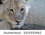 Sleepy Lion Cub In The Shade