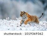 siberian tiger  panthera tigris ... | Shutterstock . vector #1019369362
