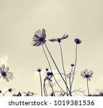 pink cosmos flowers in garden. | Shutterstock . vector #1019381536