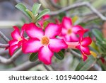 Adenium Tree Or Desert Rose Ha...