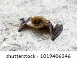 common pipistrelle ... | Shutterstock . vector #1019406346