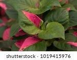 Small photo of Joseph's Coat's colorful leaves(Alternanthera ficoidea)