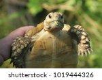 tortoise on the hands of man ... | Shutterstock . vector #1019444326
