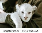 White Lion Cub In Hands