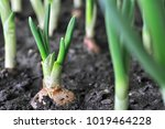 Close Up Of Growing Onion...