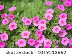 pink petunia flower  | Shutterstock . vector #1019513662