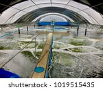 the image. hatchery shrimp... | Shutterstock . vector #1019515435