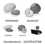 hazelnut  pistachios  walnut ... | Shutterstock .eps vector #1019543788