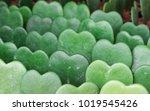hoya kerrii  the thick leaves... | Shutterstock . vector #1019545426